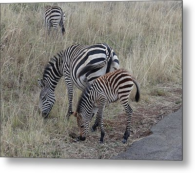 Zebras In Kenya 1 Metal Print by Exploramum Exploramum