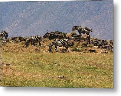 Zebras In The Ngorongoro Crater, Tanzania Metal Print by Aidan Moran