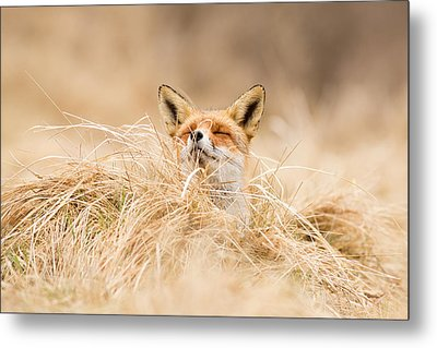 Zen Fox Series - Zen Fox 2.7 Metal Print by Roeselien Raimond