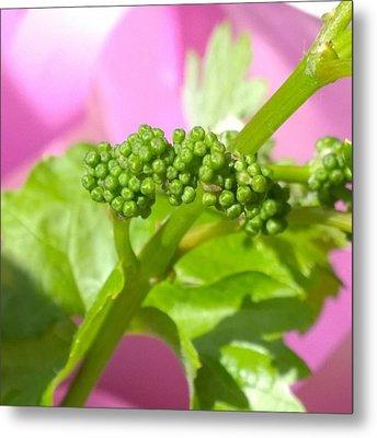 #zinfandel #wine #grapes Baby Buds Metal Print by Shari Warren