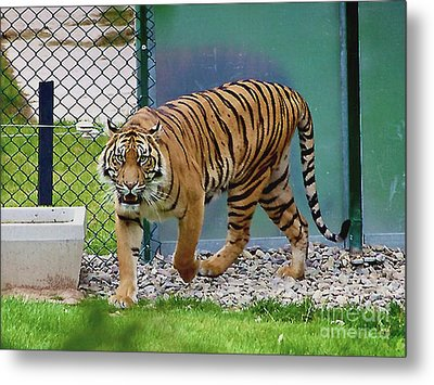 Metal Print featuring the photograph Zoo Tiger Staring At Me by Merton Allen