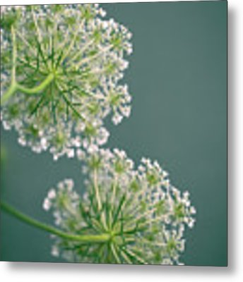 Fragile Dill Umbels On Summer Meadow Metal Print by Nailia Schwarz