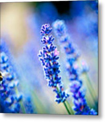 Lavander Flowers With Bee In Lavender Field Artmif Metal Print by Raimond Klavins