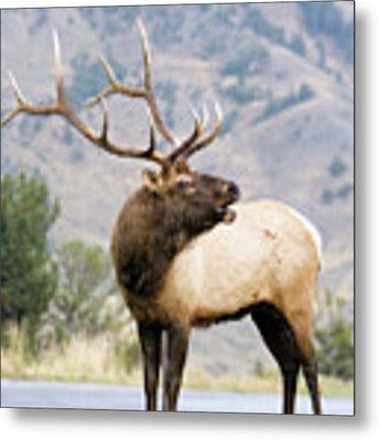 Bull Elk Metal Print by Wesley Aston
