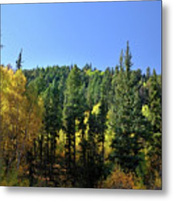 Aspen And Cottonwood In Concert Metal Print by Ron Cline
