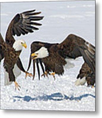 Bald Eagle's Metal Print by Wesley Aston