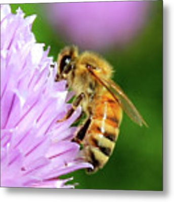 Bee On Chive Flower Metal Print by Ann E Robson