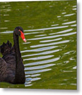 Black Swan II Metal Print by Ed Gleichman