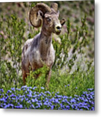 Blooms And Bighorn In Anza Borrego Desert State Park  Metal Print by Sam Antonio Photography
