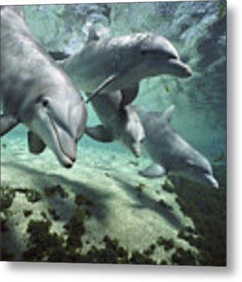 Four Bottlenose Dolphins Hawaii Metal Print by Flip Nicklin