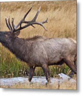 Bull Elk In Yellowstone Metal Print by Wesley Aston