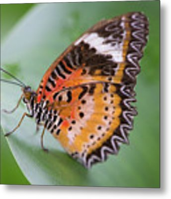 Butterfly On The Edge Of Leaf Metal Print by John Wadleigh