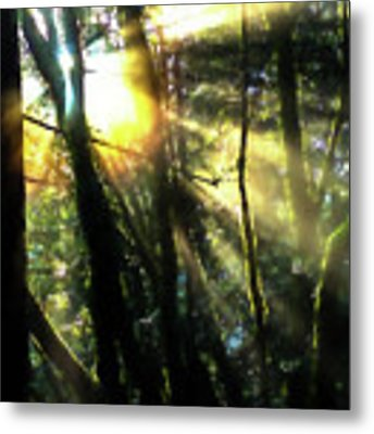 California Redwoods Metal Print by Richard Ricci