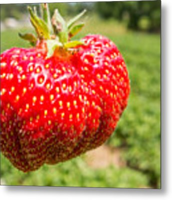 Close Up Shot Strawberry With Planting Strawberry Background Metal Print by Alex Grichenko