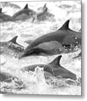 Dolphins On The Run Metal Print