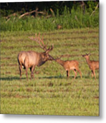 Elk Kisses Metal Print by Jemmy Archer