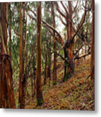 Eucalyptus Grove In California Metal Print by Ben Upham III