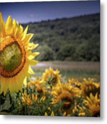Field Of Sunflowers Metal Print by Jim DeLillo