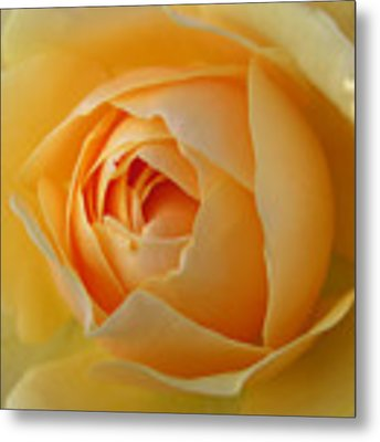 Graham Thomas Old Fashioned Rose Metal Print by Jocelyn Friis
