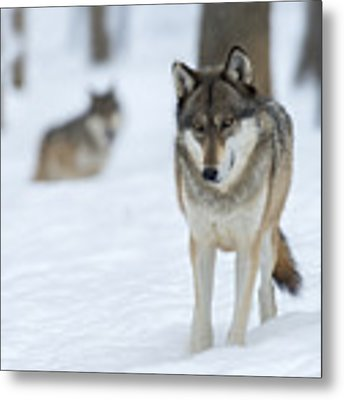 Grey Wolf In Snow With Wolf In Distance Metal Print by Dan Friend