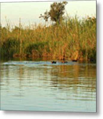 Hippos, South Africa Metal Print by Karen Zuk Rosenblatt