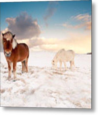 Icelandic Horses On Winter Day Metal Print