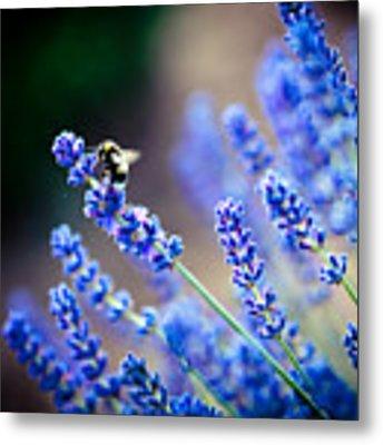 Lavander Flowers Macro With Bee In Lavender Field Metal Print by Raimond Klavins