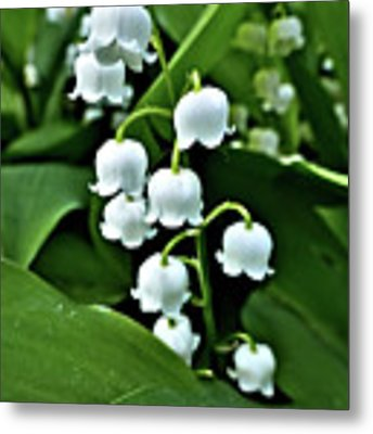 Lilly Of The Valley Flowers Metal Print by Jeremy Hayden