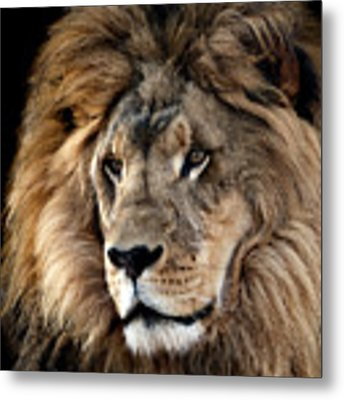 Lion King Of The Jungle 2 Metal Print by James Sage
