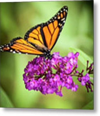 Monarch Moth On Buddleias Metal Print by Carolyn Marshall
