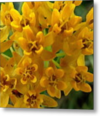 Orange Butterfly Weed Metal Print by Shelli Fitzpatrick