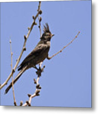 Phainopepla Metal Print by Grace Dillon