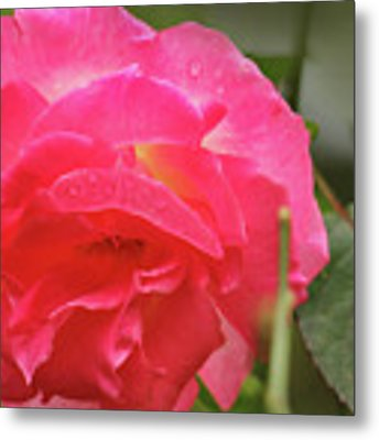 Pink Rose Metal Print by Kelly Hazel