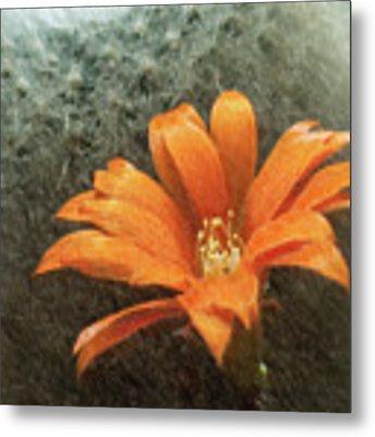 Rebutia Muscula Bright Orange Flower Metal Print by Heiko Koehrer-Wagner