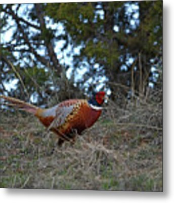 Ring Necked Pheasant Metal Print by David Armstrong