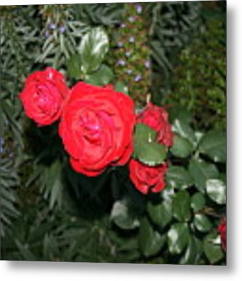 Roses Among Metal Print by Cynthia Marcopulos