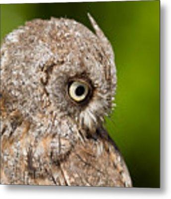 Screech Owl Portrait Metal Print