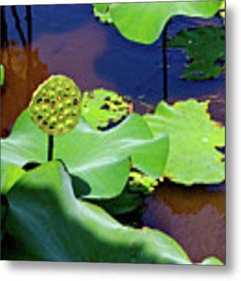 Seeds Of Lotus Metal Print by Yen
