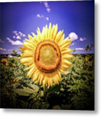 Single Sunflower Metal Print by Jim DeLillo