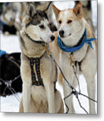 Sled Dogs Metal Print by David Buhler