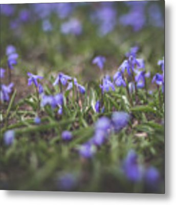 Spring Flowers - Scilla Metal Print by Viviana Nadowski