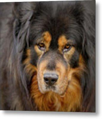 Tibetan Herding Dog Portrait Metal Print by Heiko Koehrer-Wagner