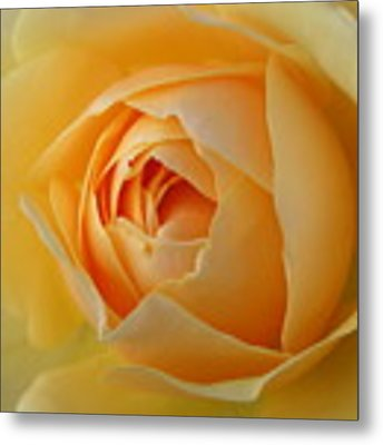 Yellow Graham Thomas Rose Metal Print by Jocelyn Friis