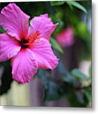 Pink Hibiscus Flower Metal Print by Pablo Avanzini