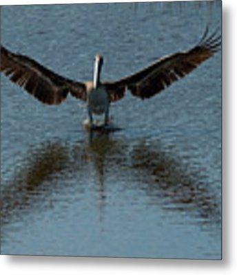 Brown Pelican Landing And Taking Off Looking For Fish Metal Print by Dan Friend