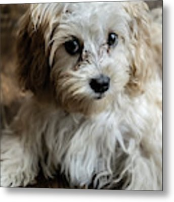 Adorable Puppy Look  Metal Print by Sven Brogren