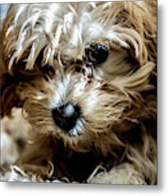 Adorable Puppy Looking Metal Print by Sven Brogren