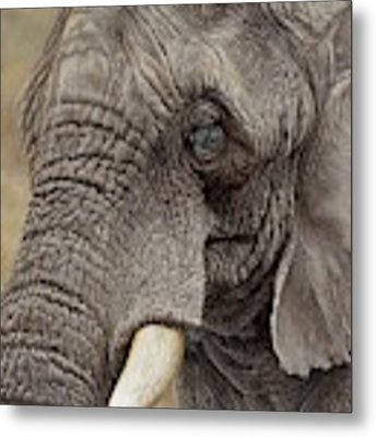 African Elephant Metal Print by Alan M Hunt