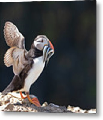 Atlantic Puffin With Sand Eels Metal Print by Elliott Coleman