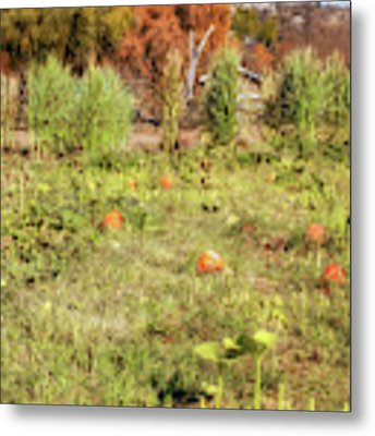 Autumn In The Pumpkin Patch Metal Print by Alison Frank